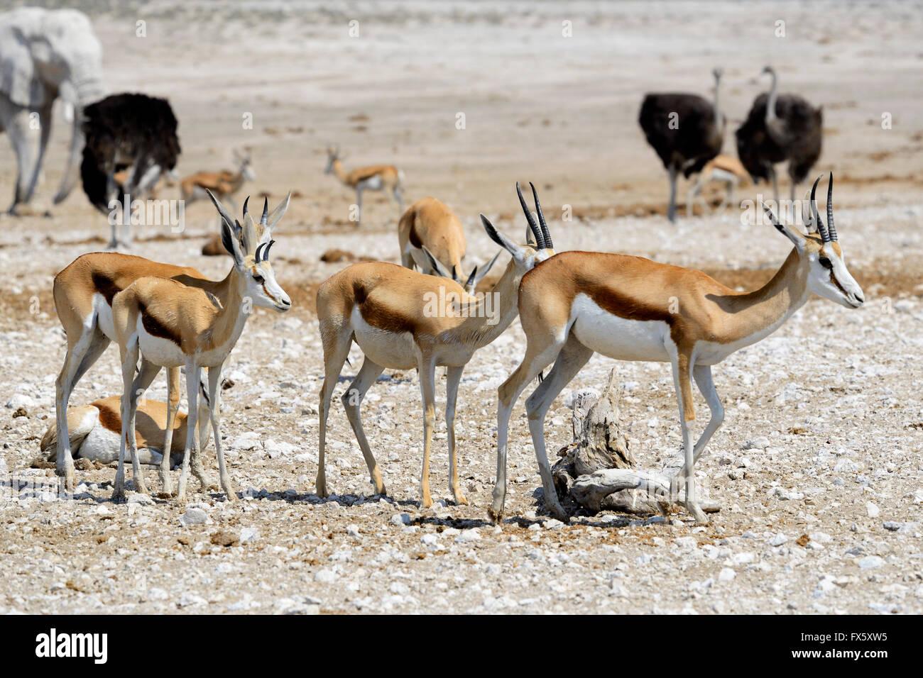 Springbok (Antidorcas marsupialis) in Etosha National Park, Namibia - Stock Image
