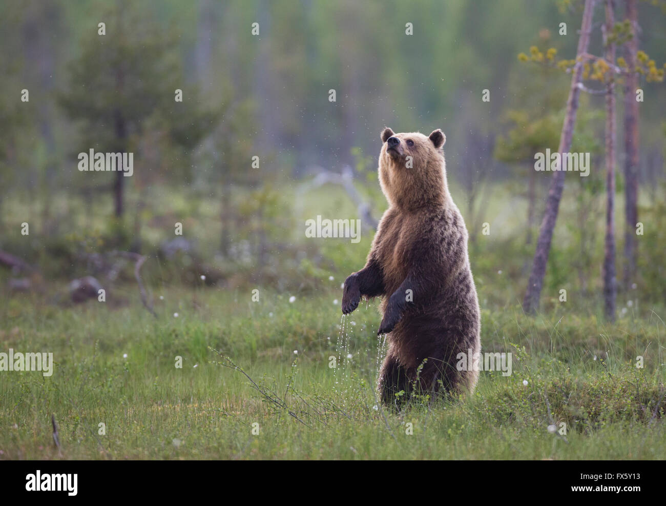 Brown bear, Ursus arctos, standing up on his back legs or back paws and sniffing in the air, Kuhmo, Finland - Stock Image