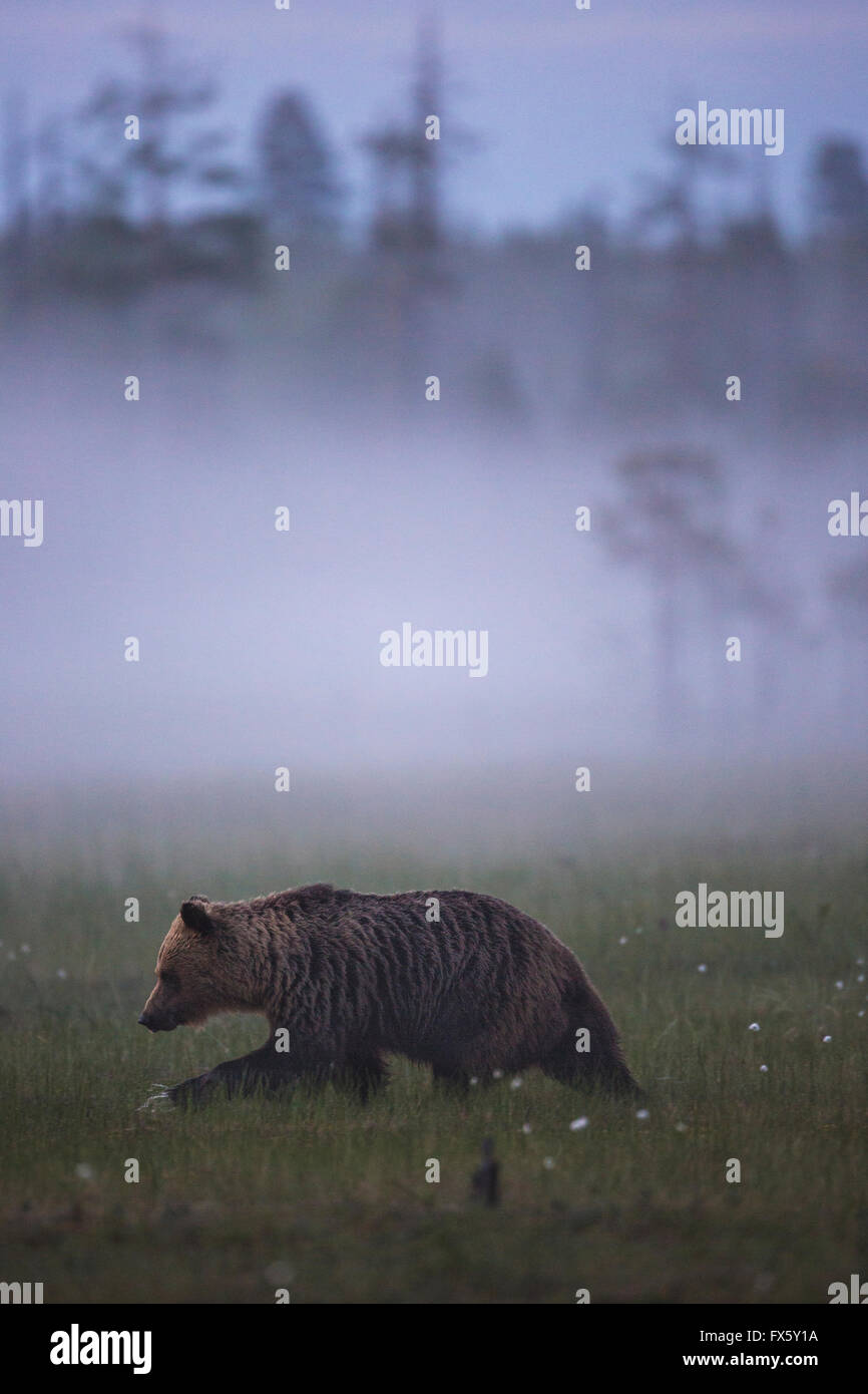 Brown bear, Ursus arctos walking in fog over a moss at dawn, Kuhmo, Finland - Stock Image