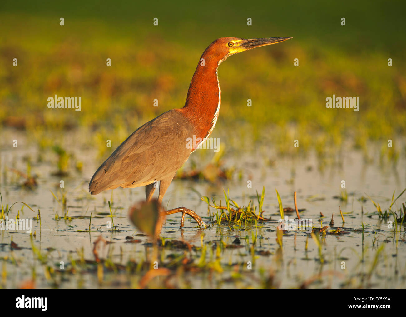 Rufescent Tiger Heron (Tigrisoma lineatum)  Pantanal, Brazil Stock Photo
