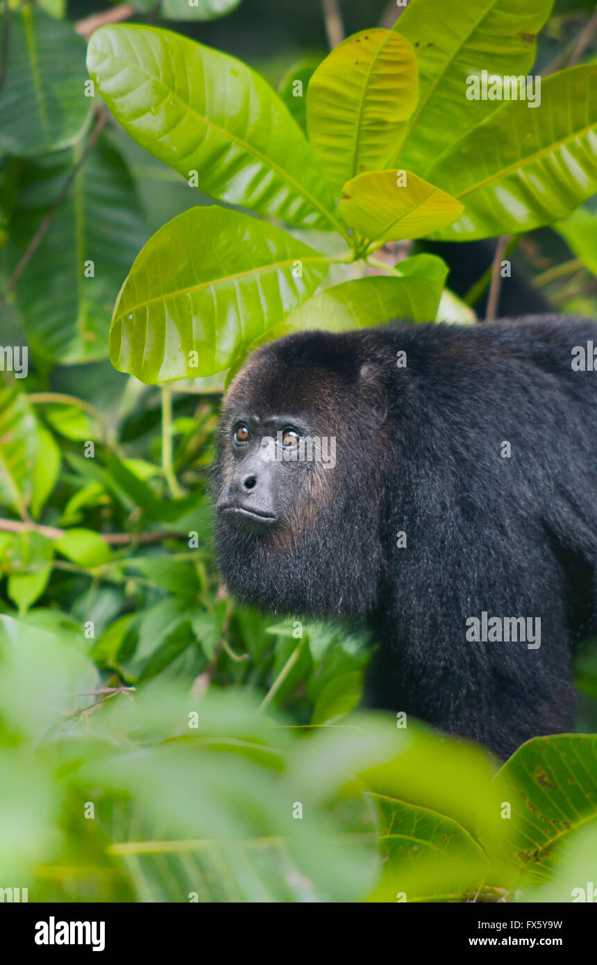 Guatemalan Black Howler Monkey (Alouatta pigra) Endangered, Wild, Community Baboon Sanctuary, Belize, Central America - Stock Image