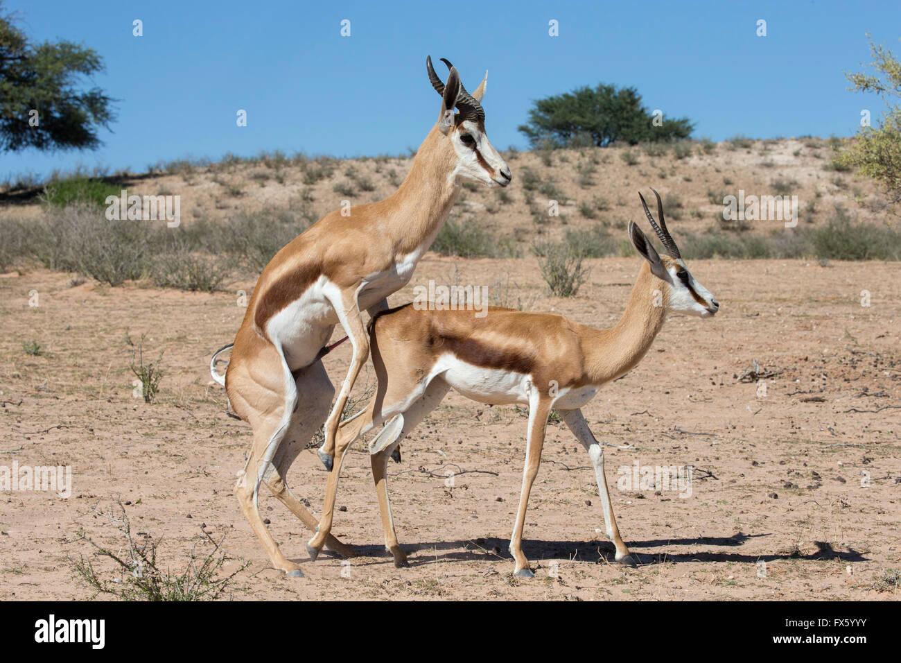 Springbok (Antidorcas marsupialis) mating, Kgalagadi Transfrontier Park, South Africa - Stock Image