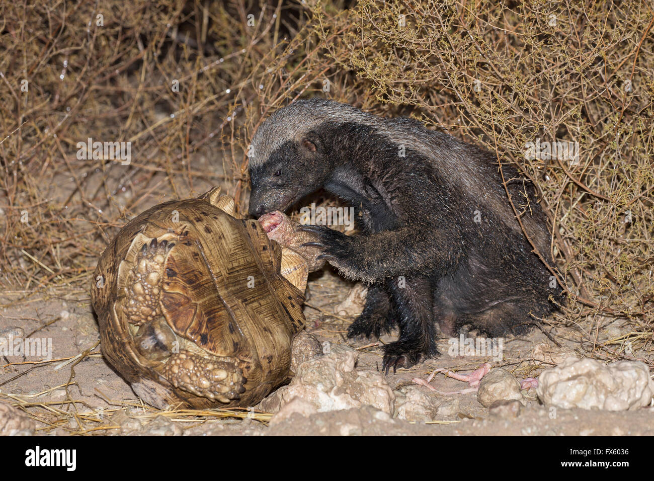 Honey Badger or ratel (Mellivora capensis) eating leopard tortoise (Geochelone pardalis), Kgalagadi, South Africa - Stock Image