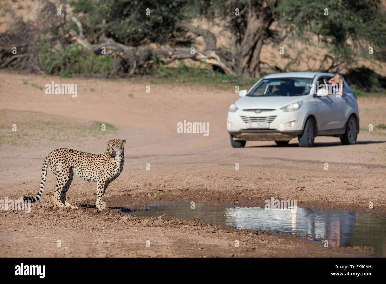 Cheetah ( Acinonyx jubatus) spotted on self drive safari, Kgalagadi Transfrontier Park, South Africa - Stock Image
