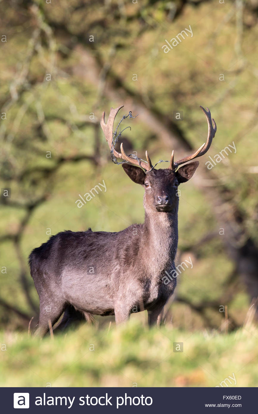 Melanistic fallow deer buck (Dama dama) with barbed wire caught in antlers, Levens deer park, Cumbria, UK - Stock Image
