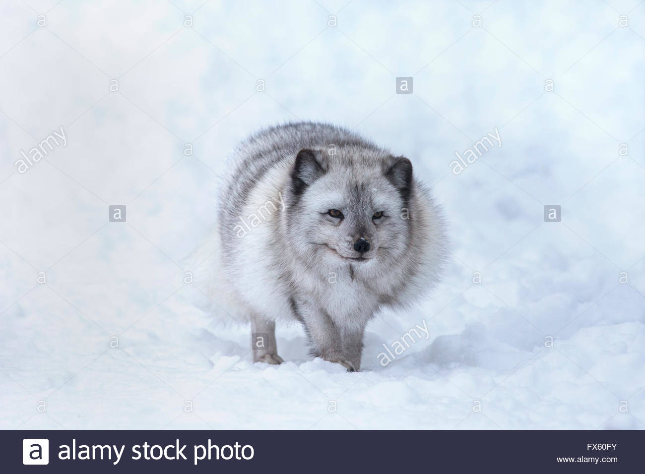 Arctic fox vixen (Vulpes lagopus), captive, Highland Wildlife Park, Kingussie, Scottish Highlands, UK Stock Photo