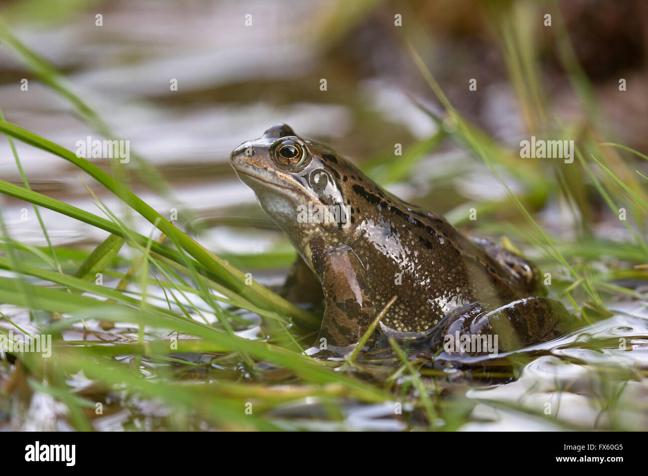Common frog (Rana temporaria), Northumberland, UK - Stock Image