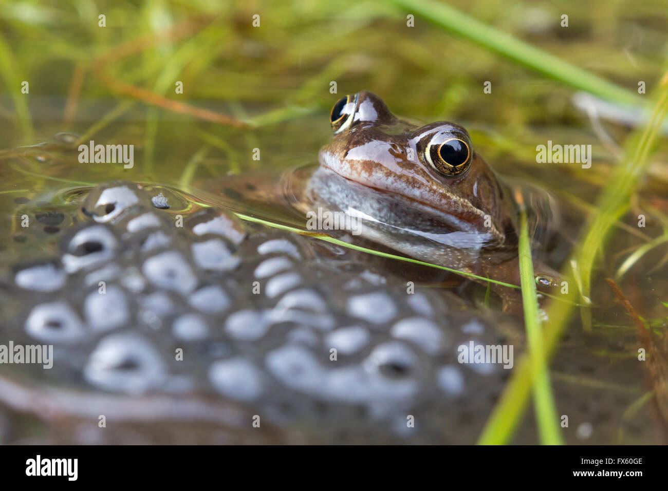 Common frogs (Rana temporaria) in spawning pond, Northumberland, UK - Stock Image