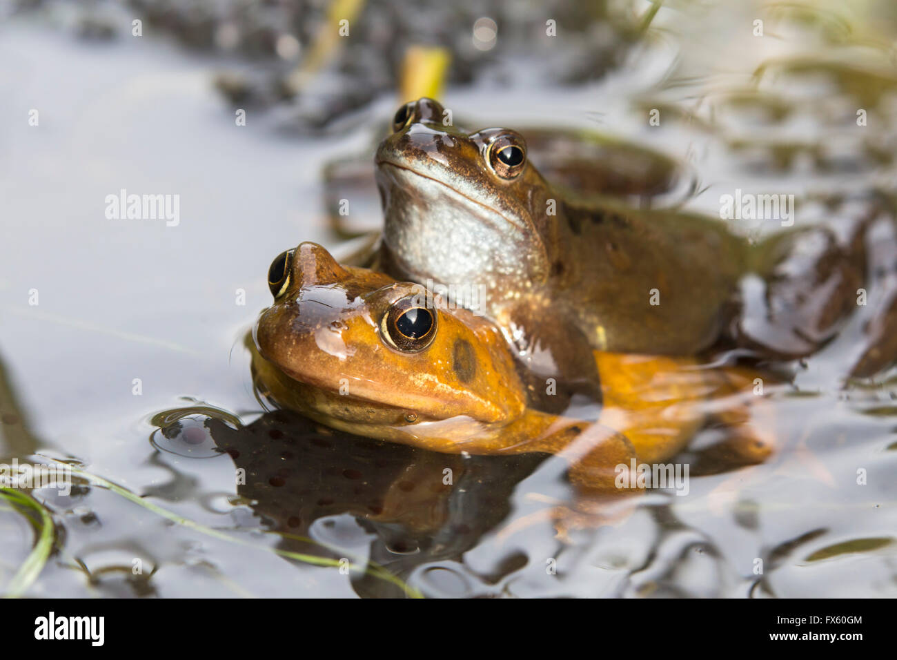 Common frogs (Rana temporaria) mating, Northumberland, UK - Stock Image
