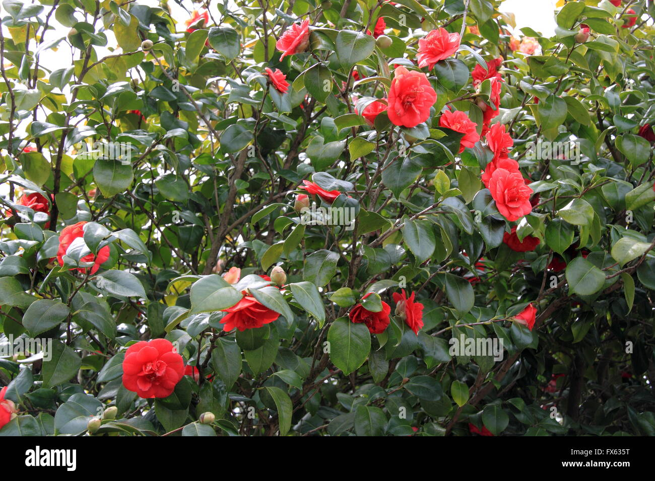 Camellia Japonica Roger Hall camellia camellia japonica flowering stock photos & camellia