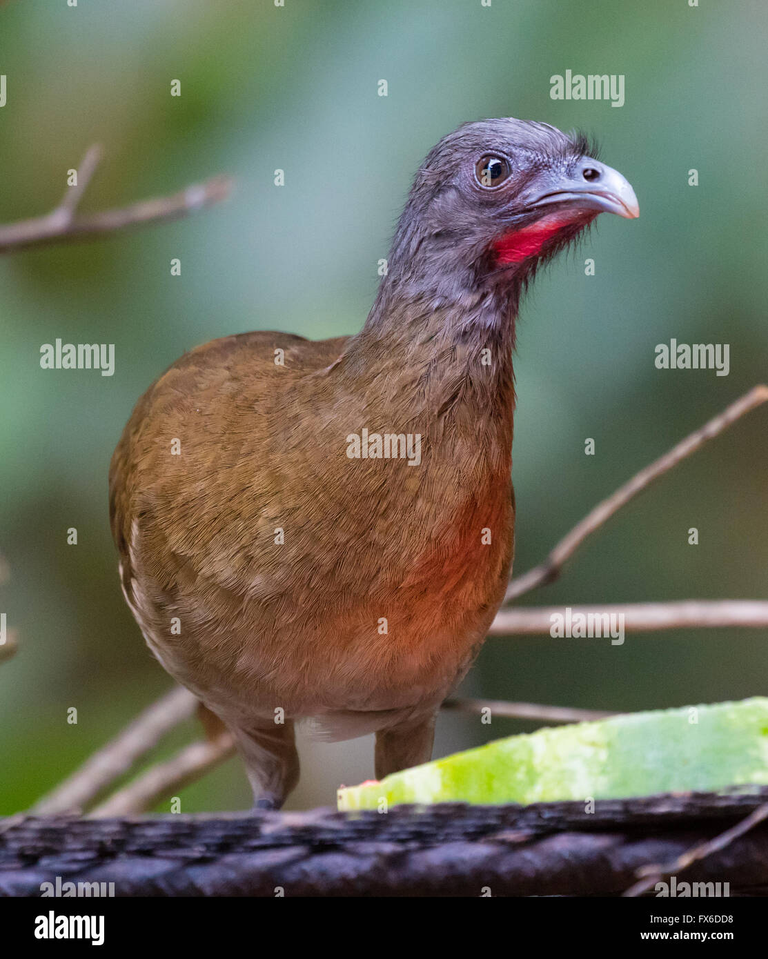 Gray-headed Chachalaca (Ortalis cinereiceps) eating fruit from a feeder in Panama - Stock Image