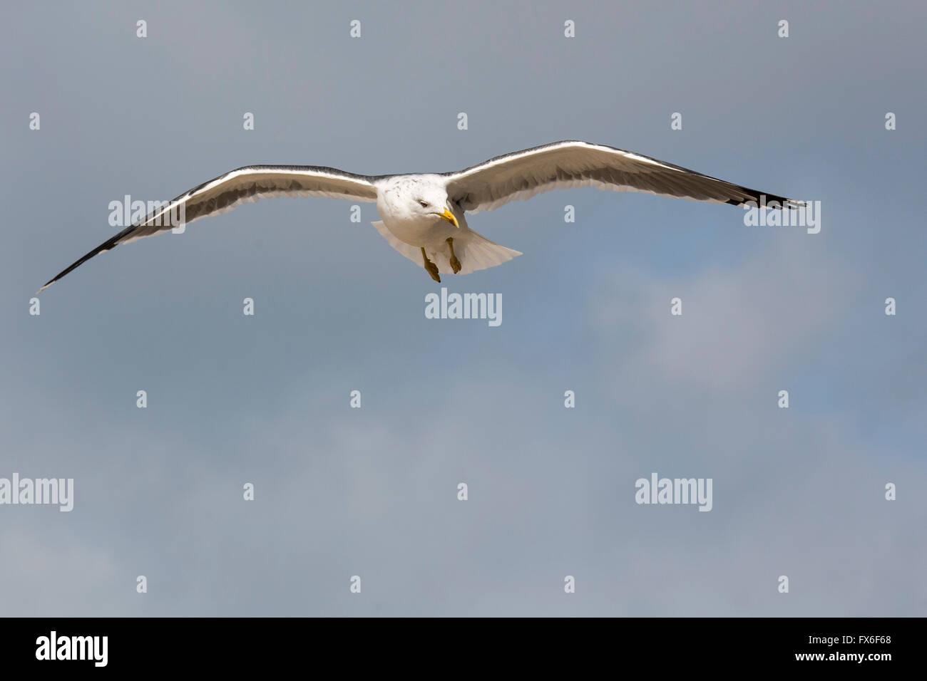 Gull flying, Cadiz, Andalusia Spain. Europe - Stock Image