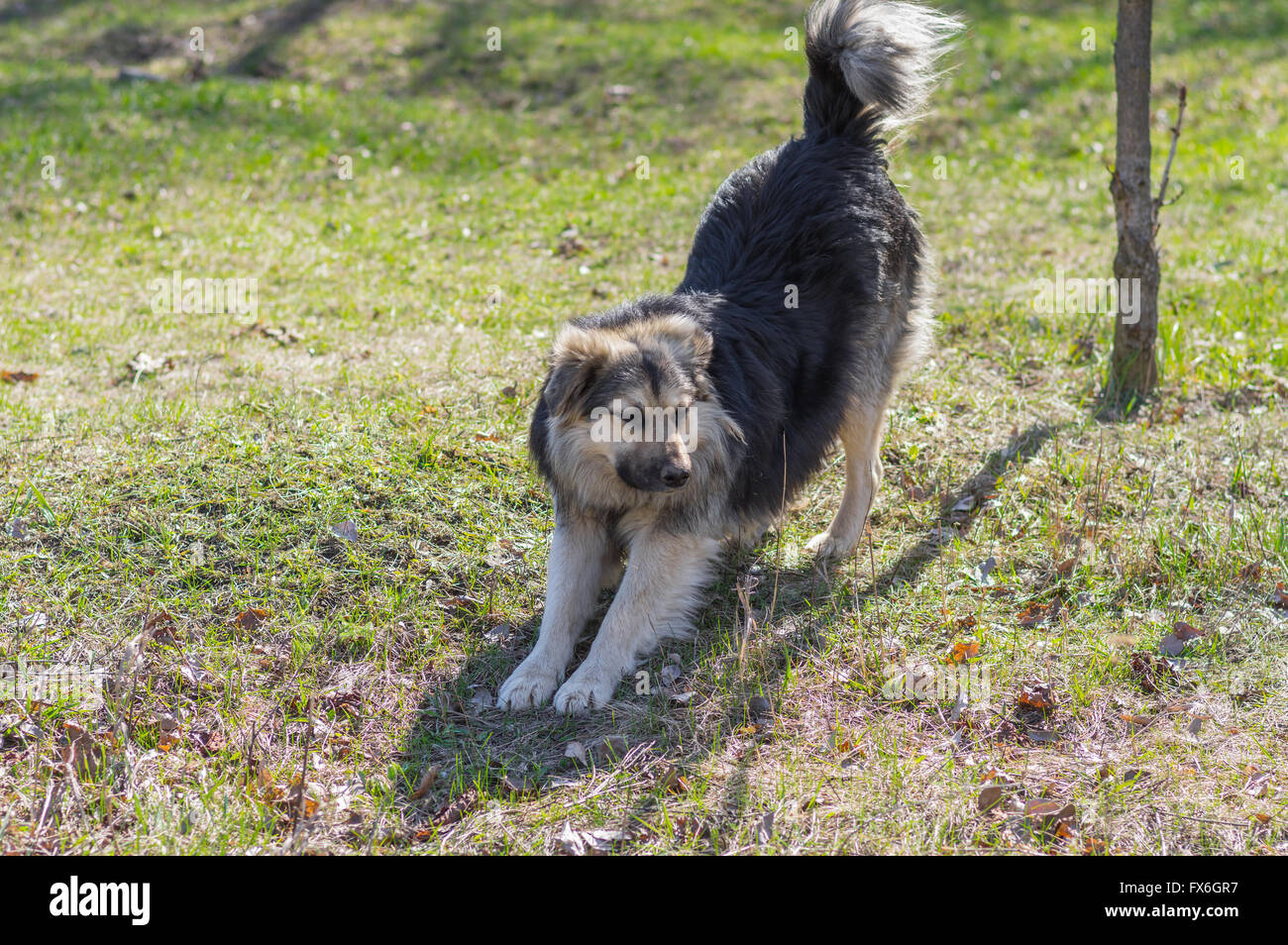 Positive stray dog stretching itself after long winter inactivity - Stock Image