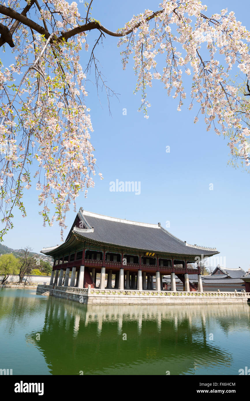 Gyeongbokgung Palace  in spring with cherry blossom - Stock Image