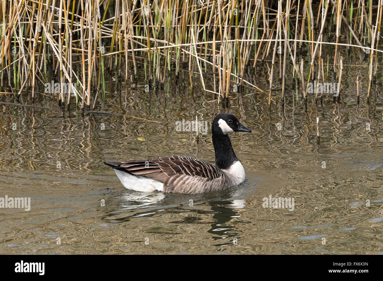 A Canada Goose. - Stock Image