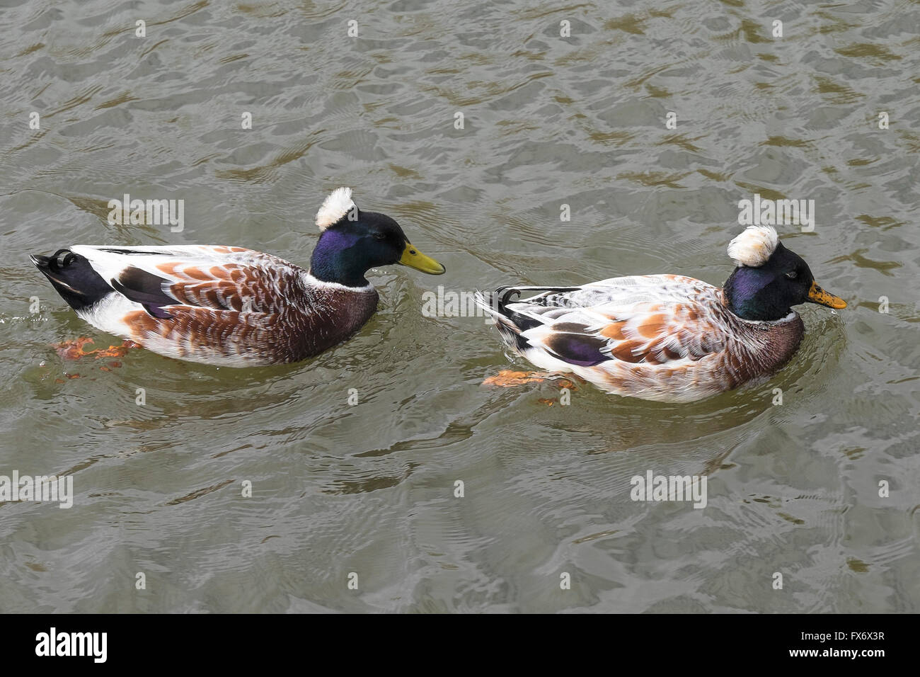 Two Crested Ducks. - Stock Image