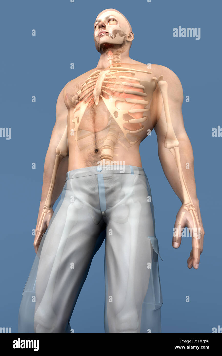 3D visualization of the human anatomy. The Internal Organs in a semi ...