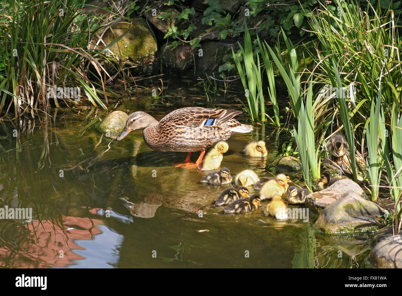mallard mother with her ducklings at the edge of a pond - Stock Image