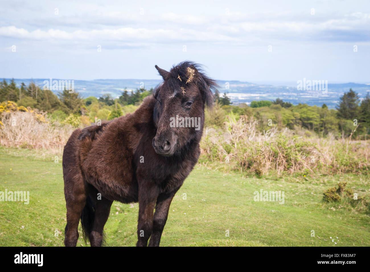 Dartmoor Ponies (Equus ferus caballus) Grazing in the moor - Stock Image