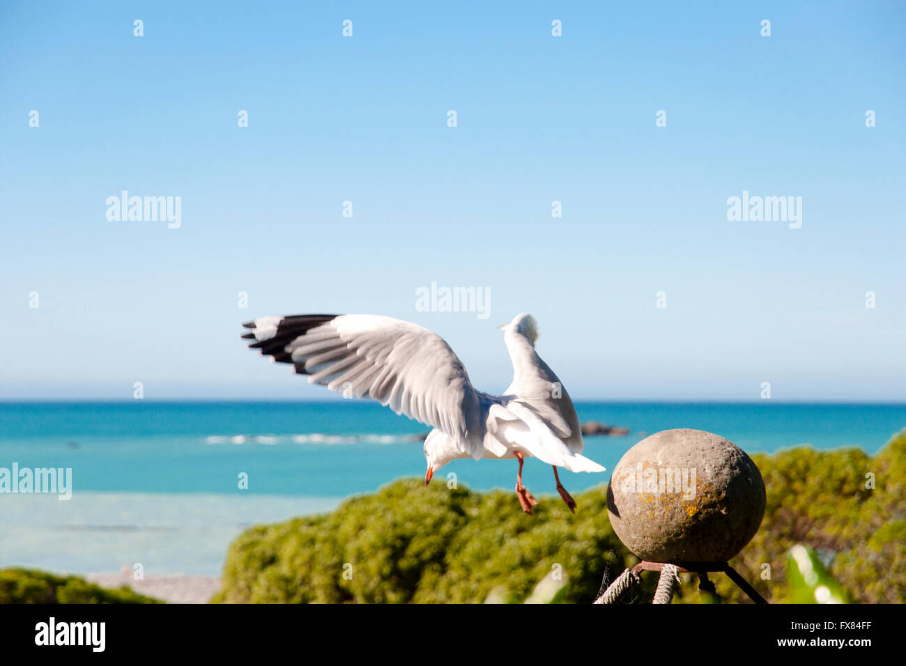 Seagull Takeoff - New Zealand - Stock Image