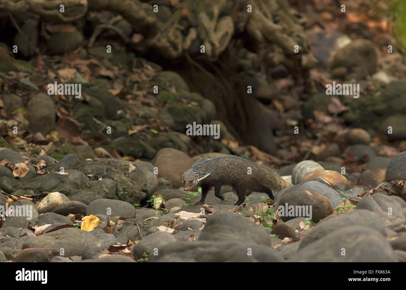 Crab eating mongoose in a forest stream of West Bengal, India - Stock Image