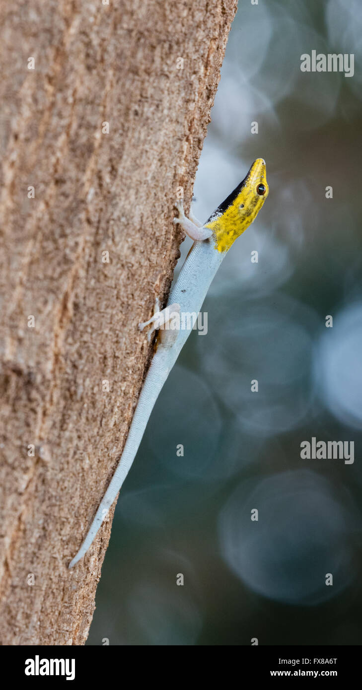Dwarf Yellow Head Gecko Lygodactylus luteopicturatus climbing a tree trunk in the Tsavo National Park southern Kenya - Stock Image
