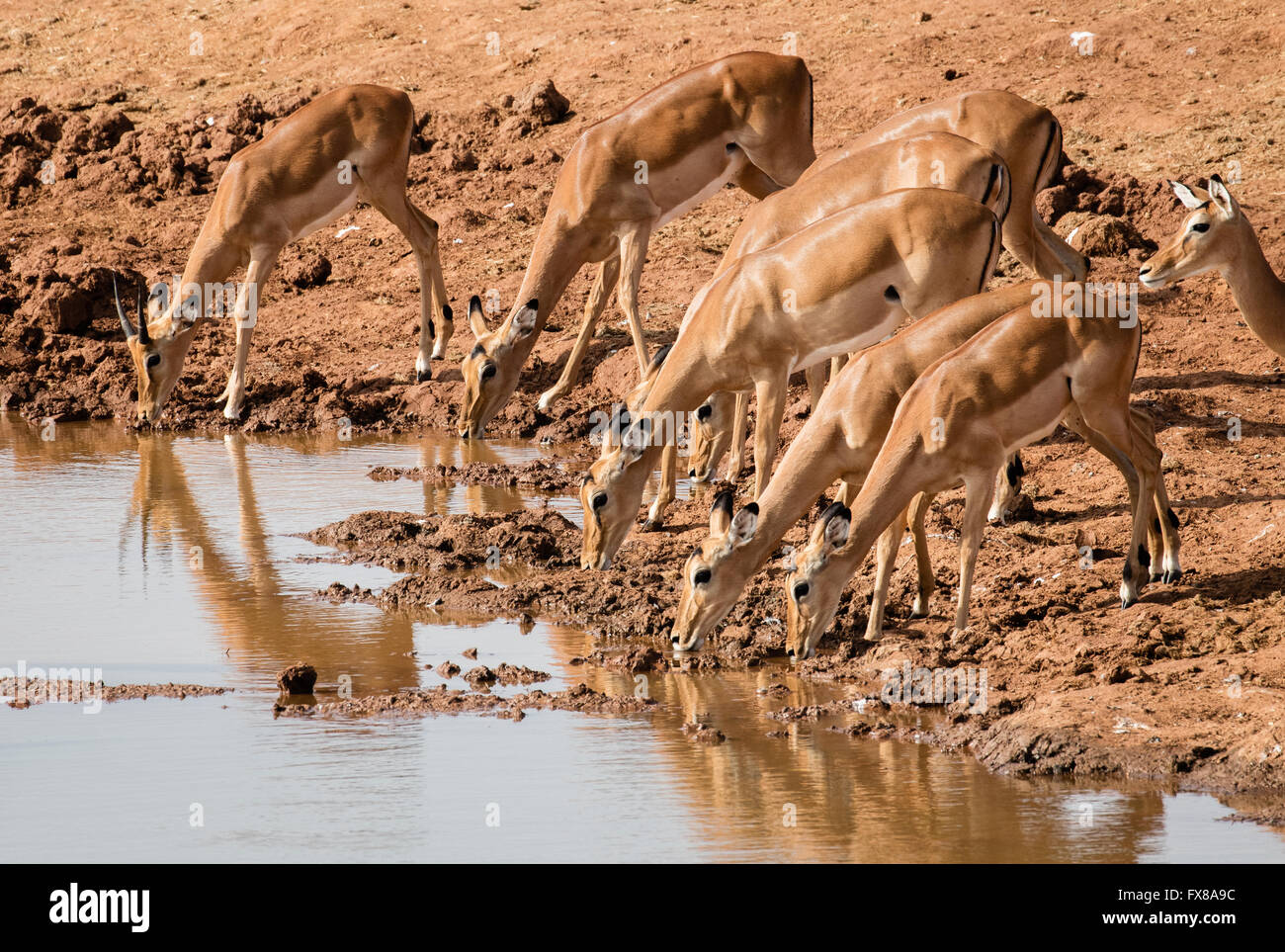 Impala Aepyceros melampus antelope females and a young male drinking at a watering hole in Tsavo Naltional Park Stock Photo