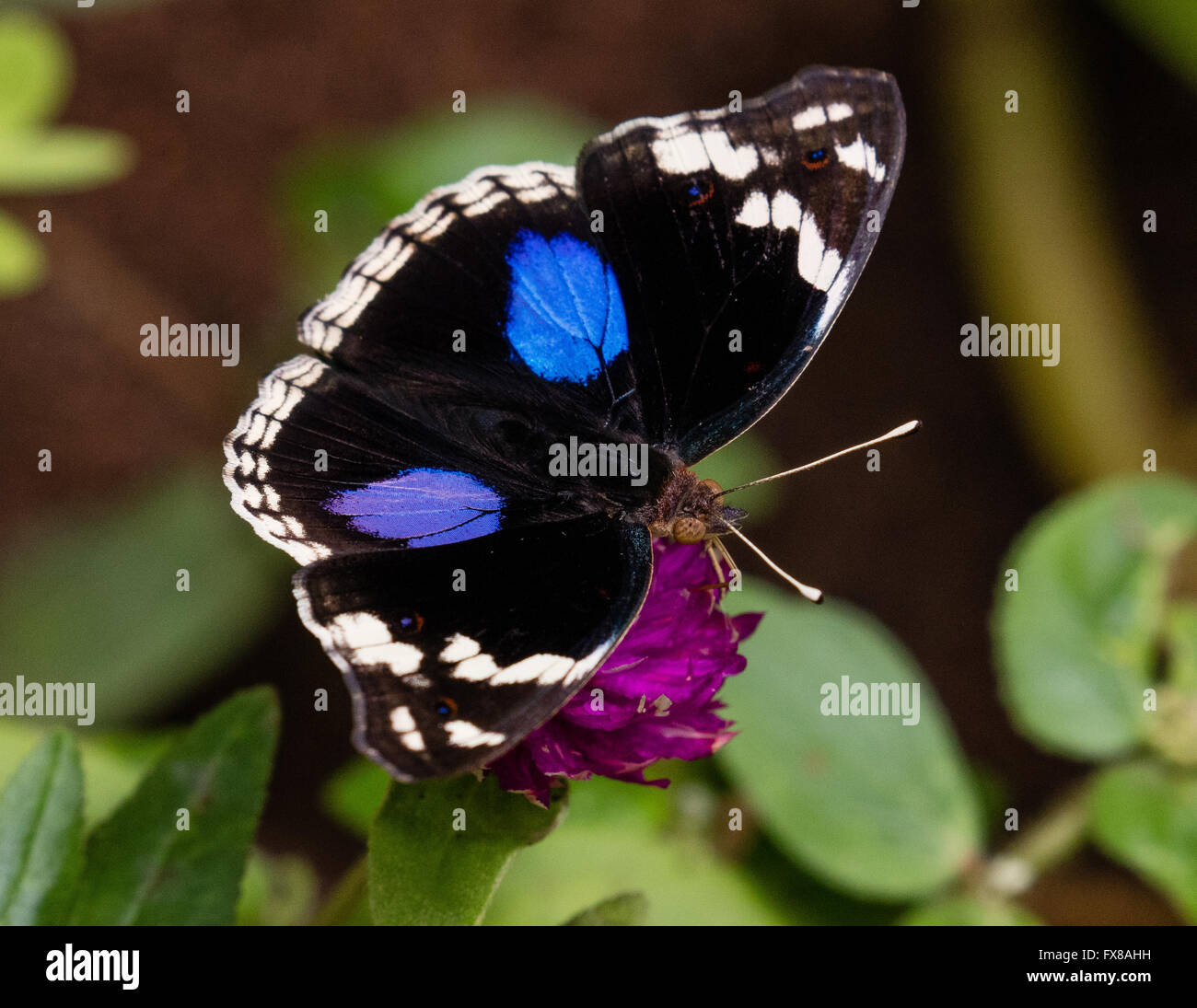 Blue Pansy butterfly Junonia Oenone feeding at a butterfly farm in the Zanzibar Butterfly Centre Jozani Forest - Stock Image