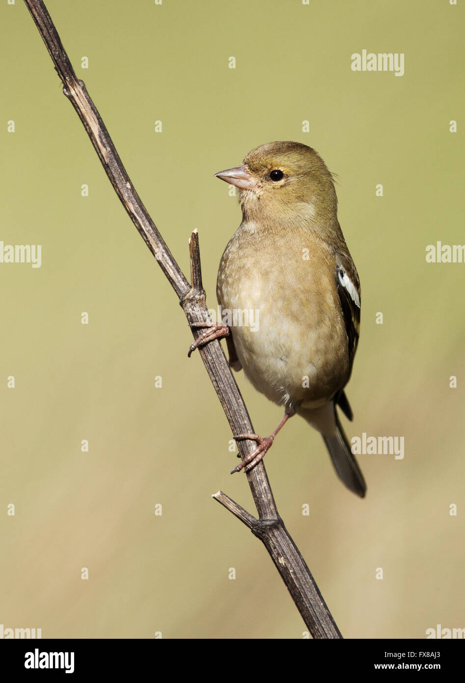 Young female Chaffinch Fringilla coelebs perched on a branch - Somerset  UK - Stock Image