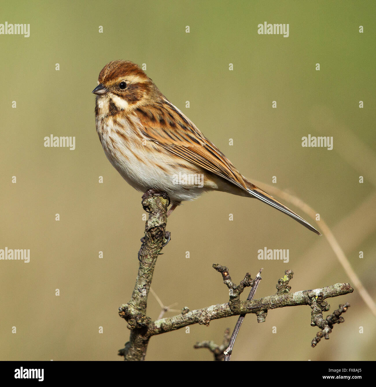 Female Reed Bunting Emberiza Schoeniclus On The Somerset Levels Uk Stock Photo Alamy