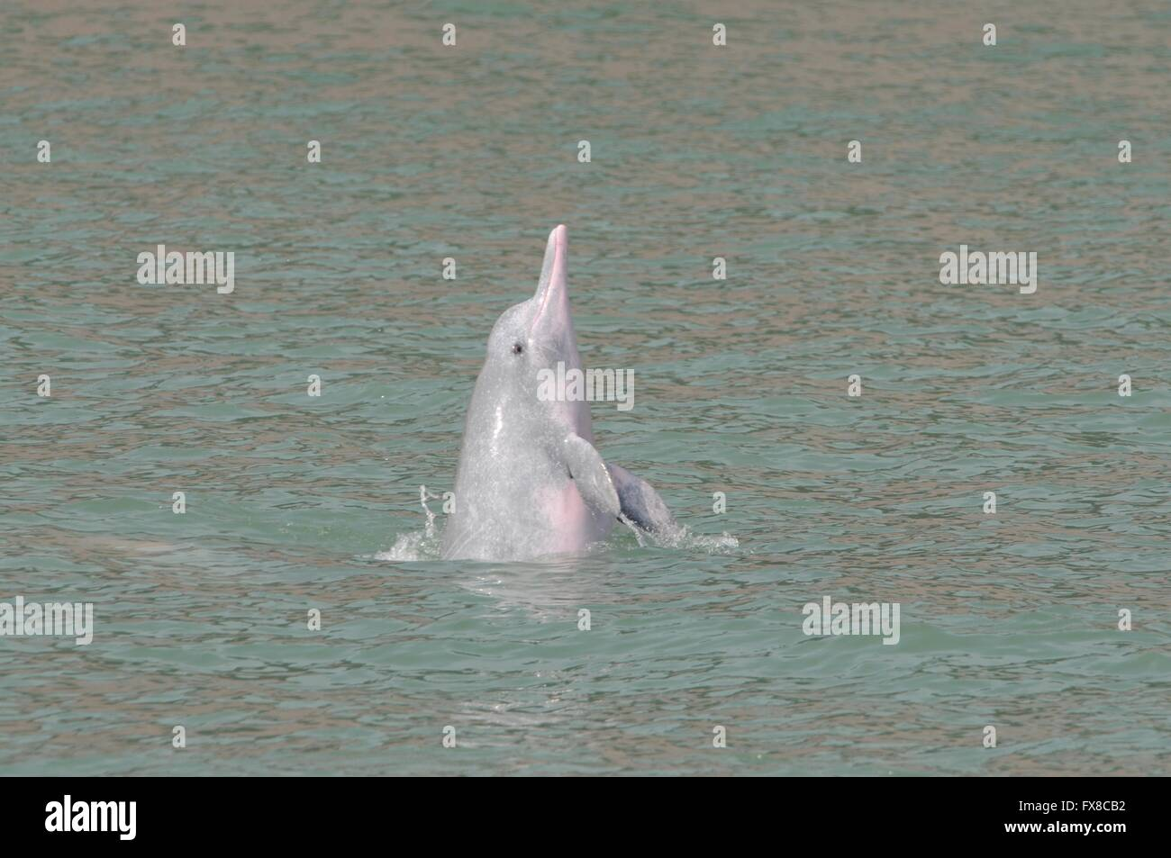 Chinese white dolphin off Hong Kong - Stock Image