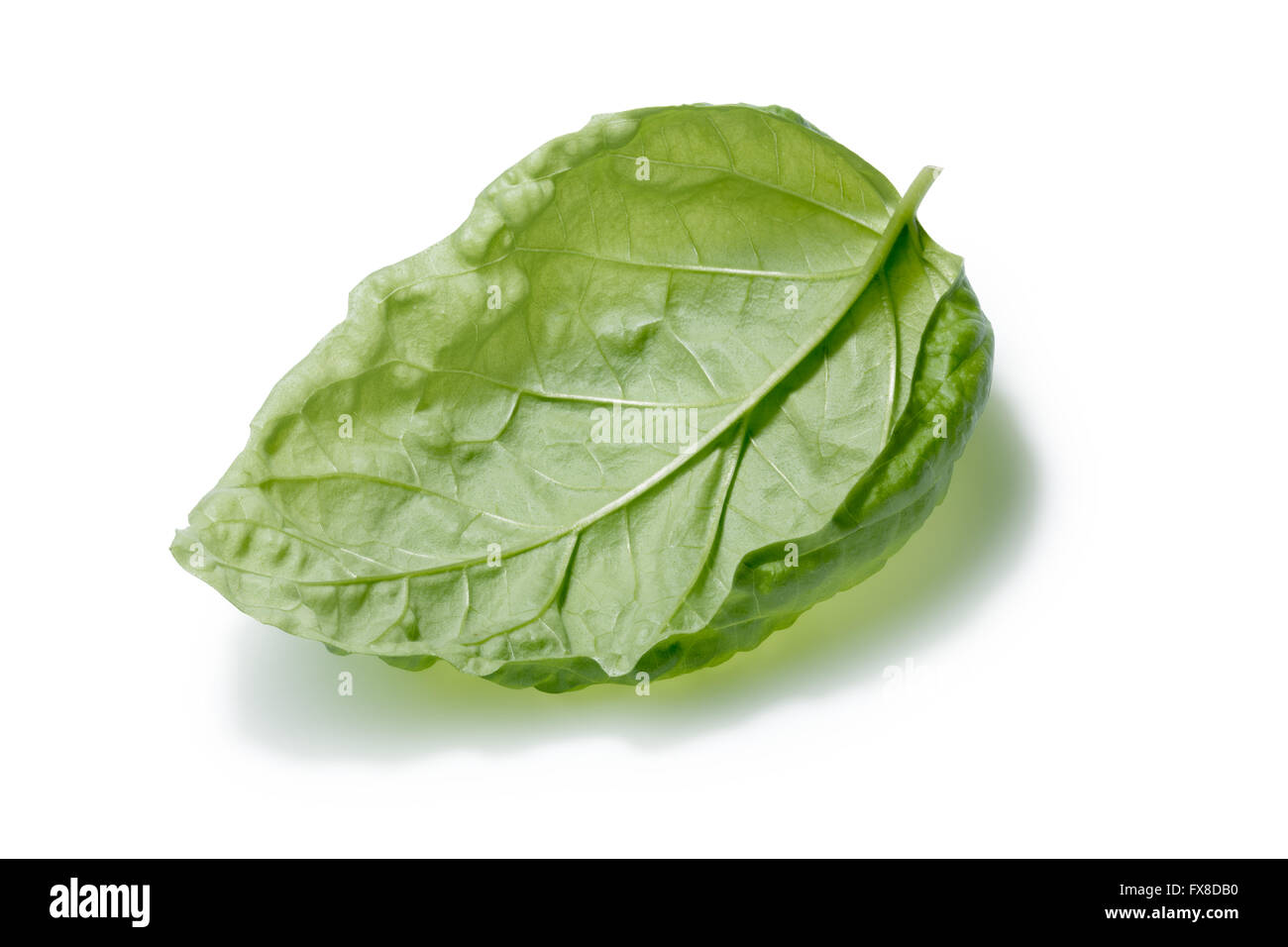 Single large basil leaf, overturned. Bolloso Napoletano cultivar. Separate clipping paths for both leaf and shadow, - Stock Image