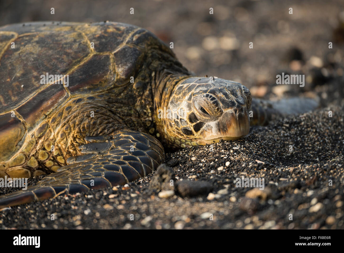 USA, Hawaii, Big Island, Kona, Kaloko-Honokohau historic national park, sea turtle on beach, - Stock Image