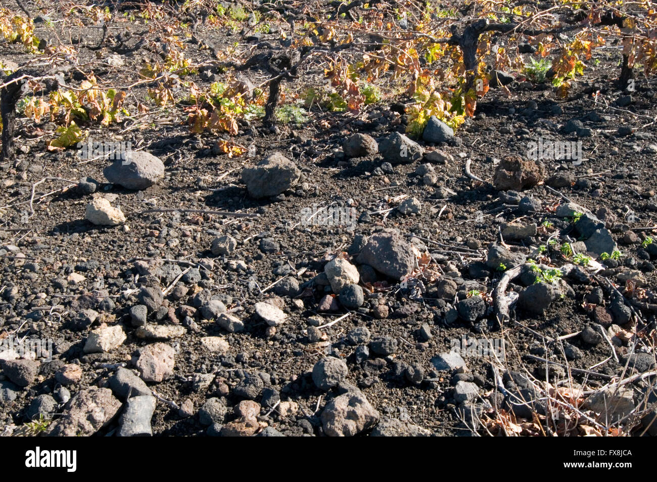 grape vines grape vine grapevine grapevines vineyard vineyards canary islands island canaries isle isles low short Stock Photo