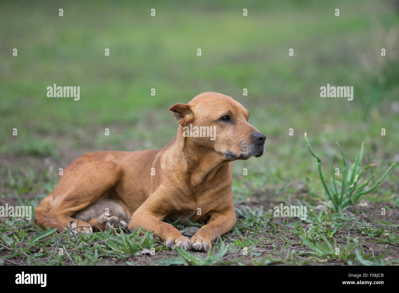 red pit bull lying on the lawn Stock Photo