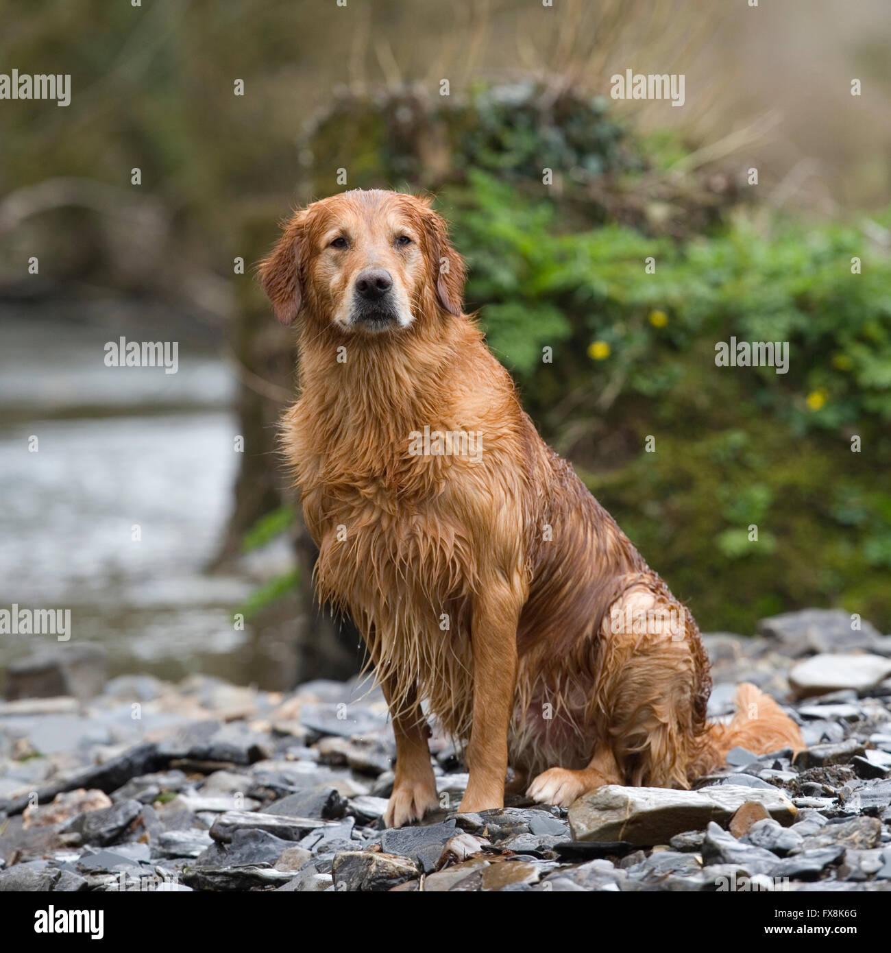 golden retriever in water - Stock Image