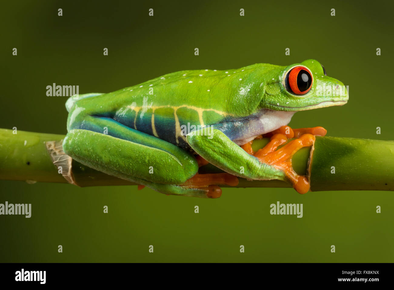 red eyed tree frog sitting on branch - Stock Image