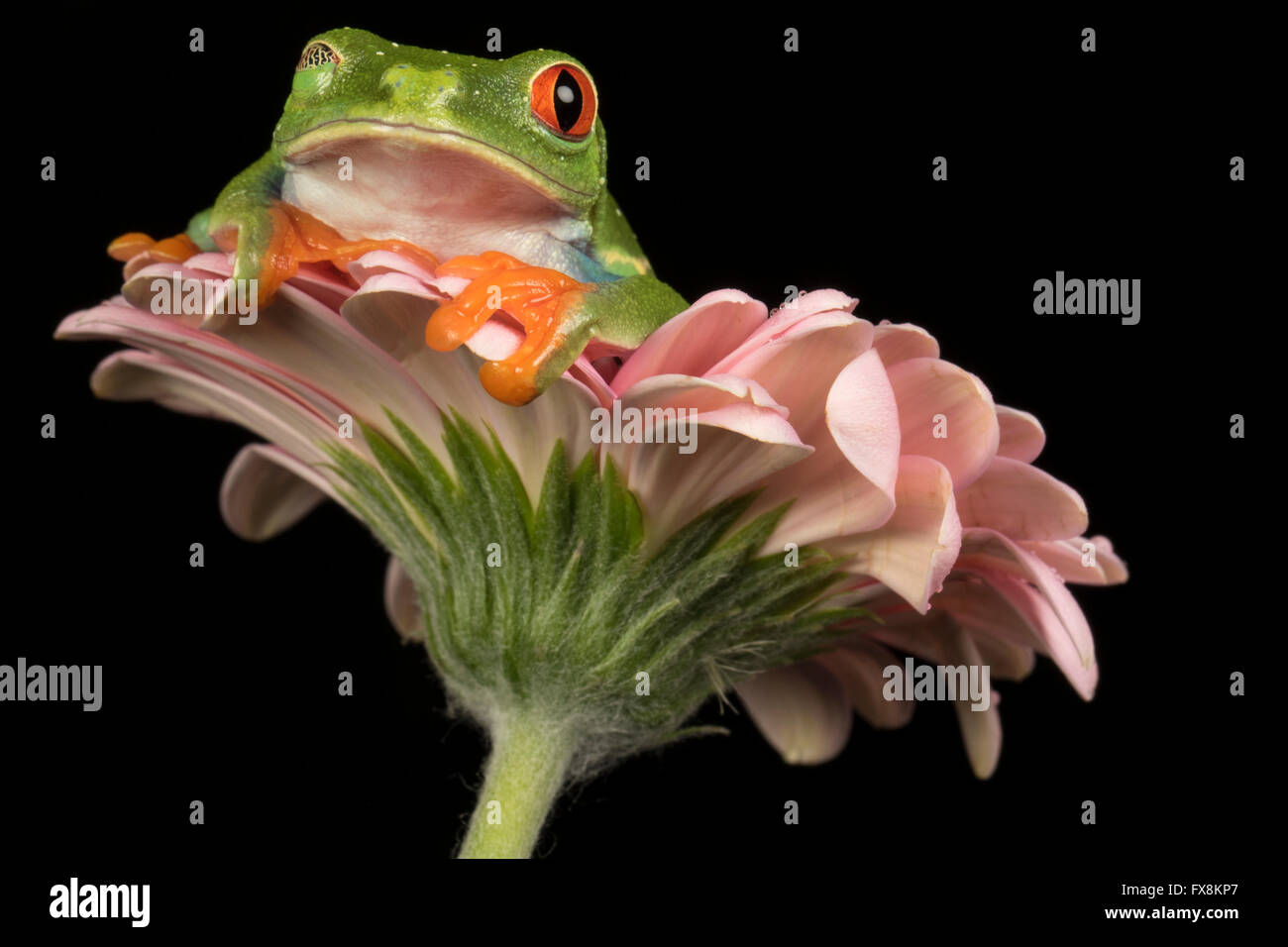 Red Eyed Tree Frog Sitting on a flower with black background - studio image - Stock Image