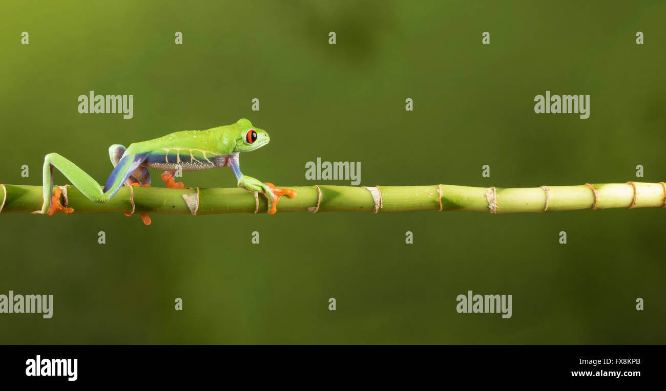 red eyed tree frog sitting on branch Stock Photo
