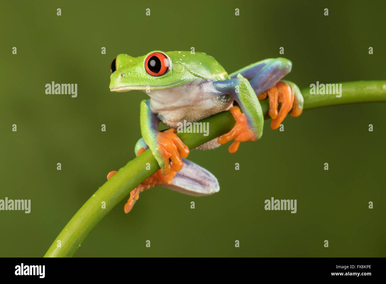Red Eyed Tree Frog Sitting on a bamboo branch with green background - studio image Stock Photo