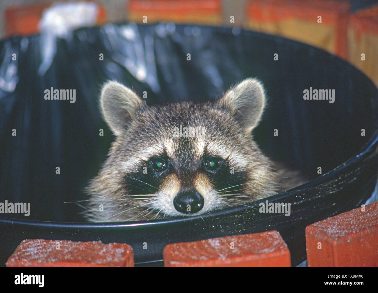 A raccoon animal looking out of a garbage can top where he is looking for food - Stock Image