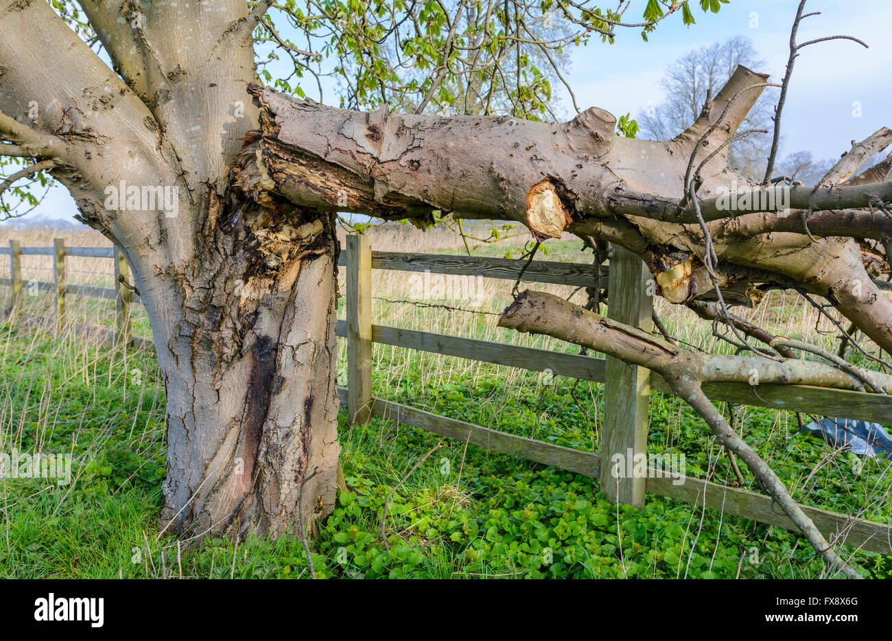 Damaged tree with branch broken off and breaking a wooden fence. - Stock Image