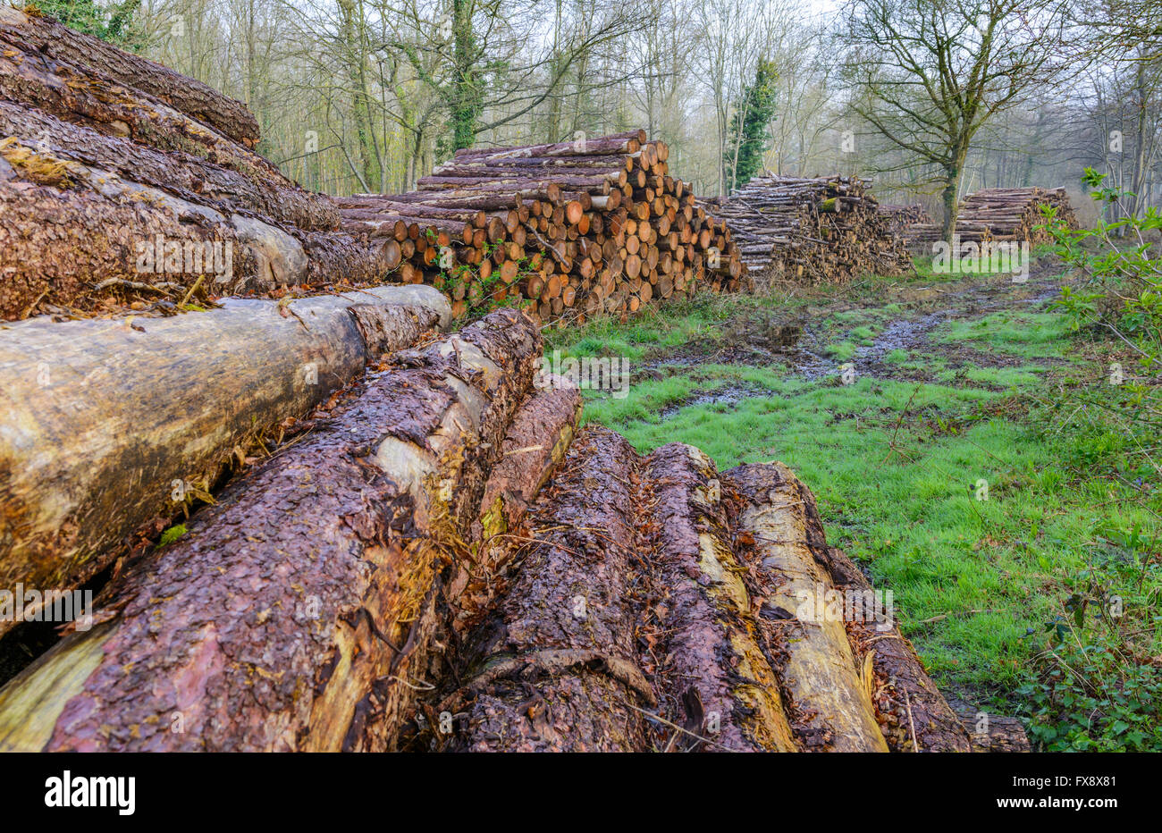 Pile of newly cut logs from trees in a wood in the UK. - Stock Image
