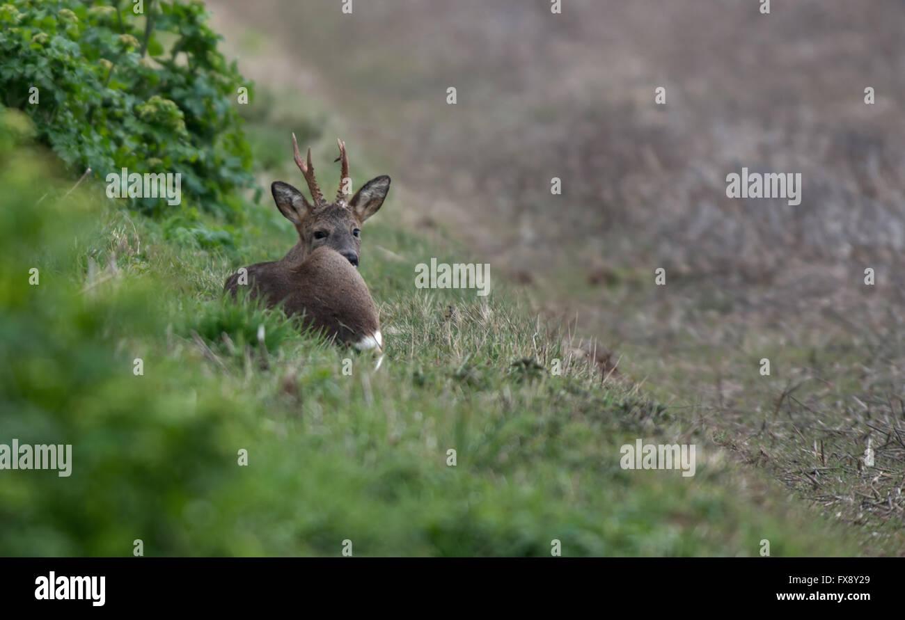 Roe Deer (Buck)-Capreolus capreolus, also known as the western Roe Deer takes rest. Spring. Uk - Stock Image