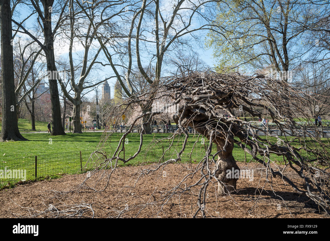 Camperdown Elm (Ulmus Glabra 'Camperdownii') on East Green in Central Park, New York, in Spring without - Stock Image