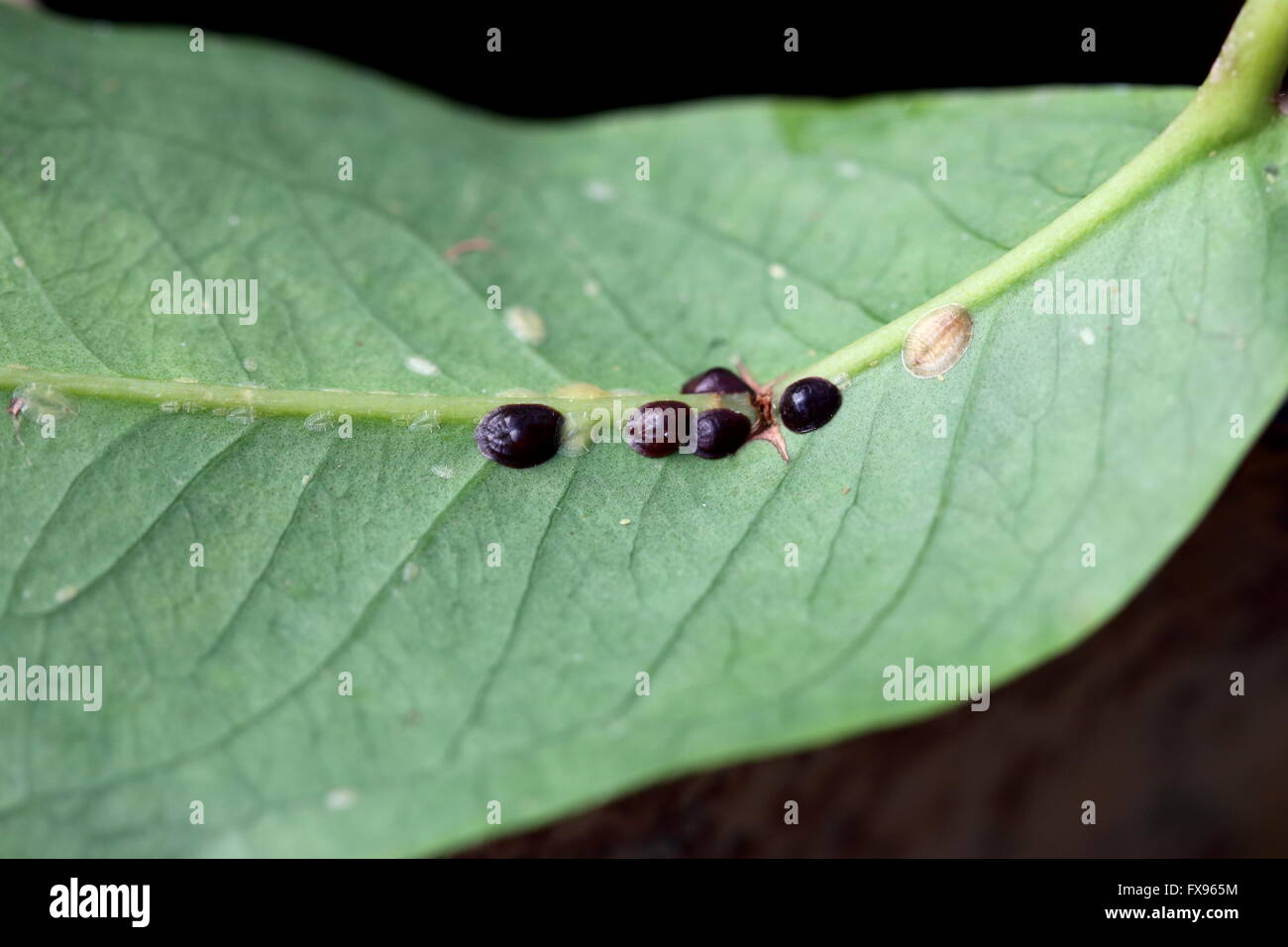 Macro image of Scale insects on Syzgium samarangense  leaf, other names include soft scales, wax scales or tortoise - Stock Image