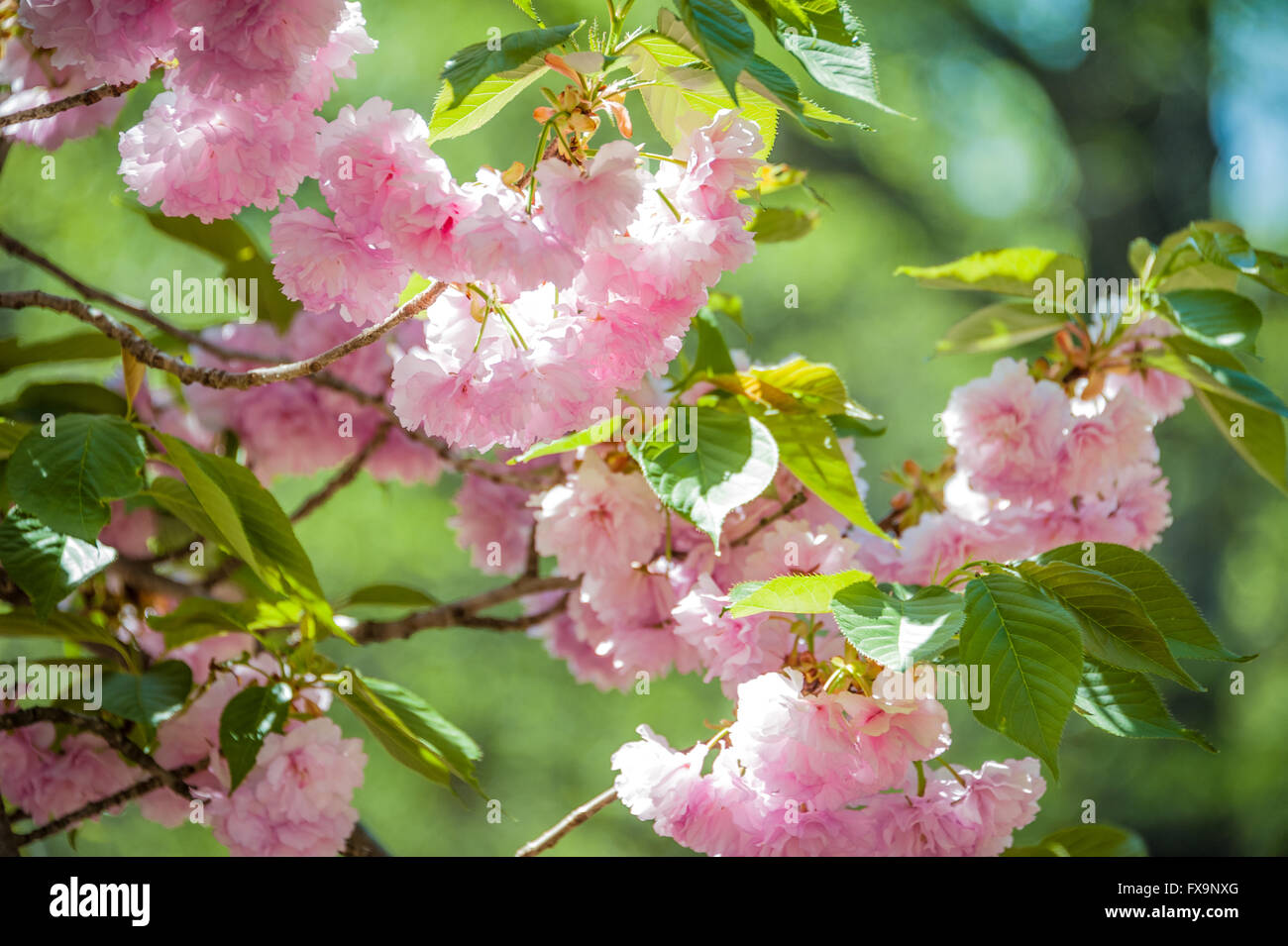 Pink, sunlit spring blossoms at Honor Heights Park in Muskogee, Oklahoma, USA. Stock Photo