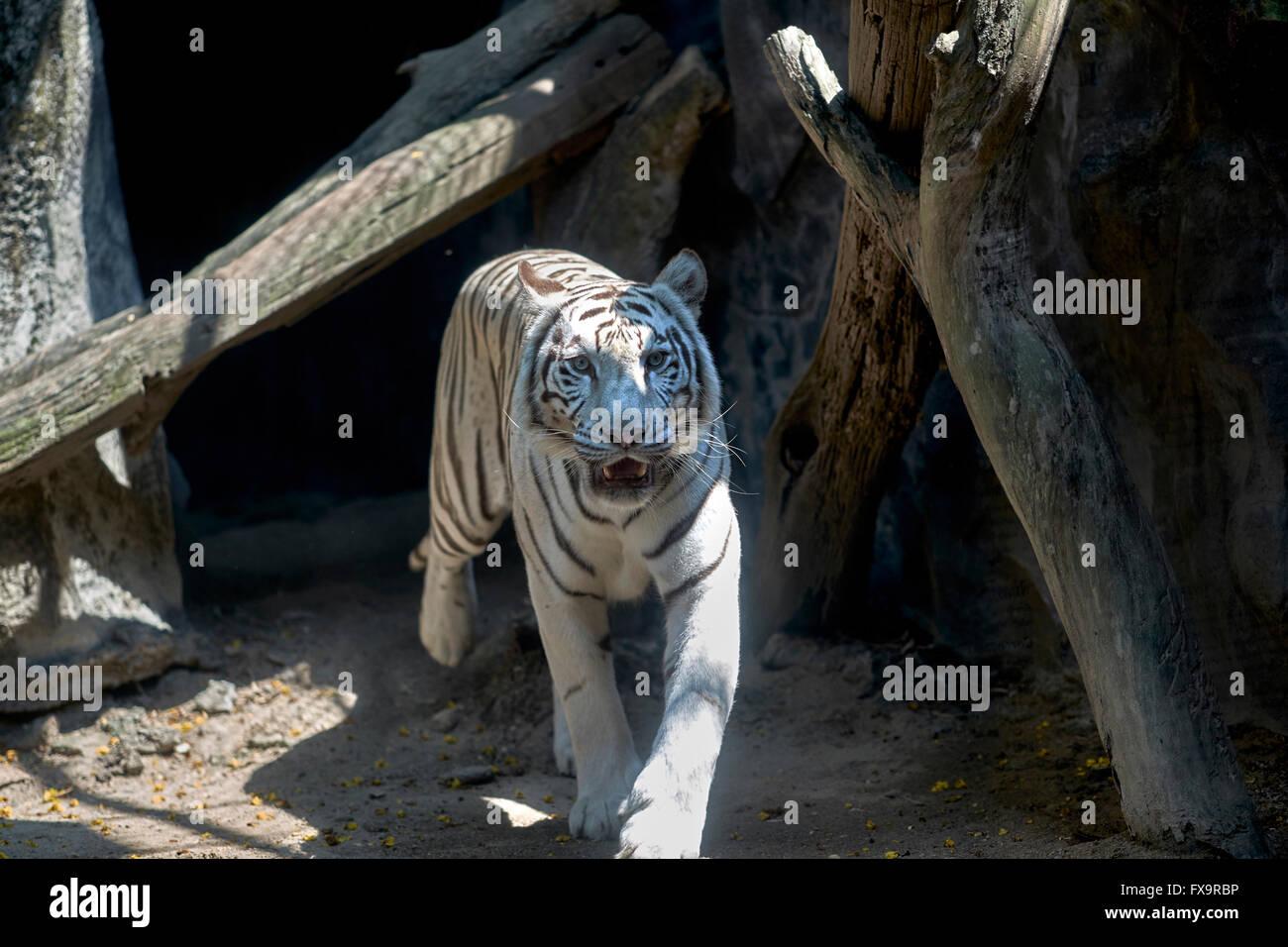 White Tiger Khao Kheow Open Zoo Si Racha Nr Pattaya Thailand S. E. Asia - Stock Image