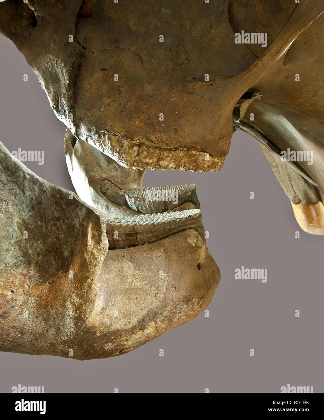 Mammoth's teeth - Stock Image