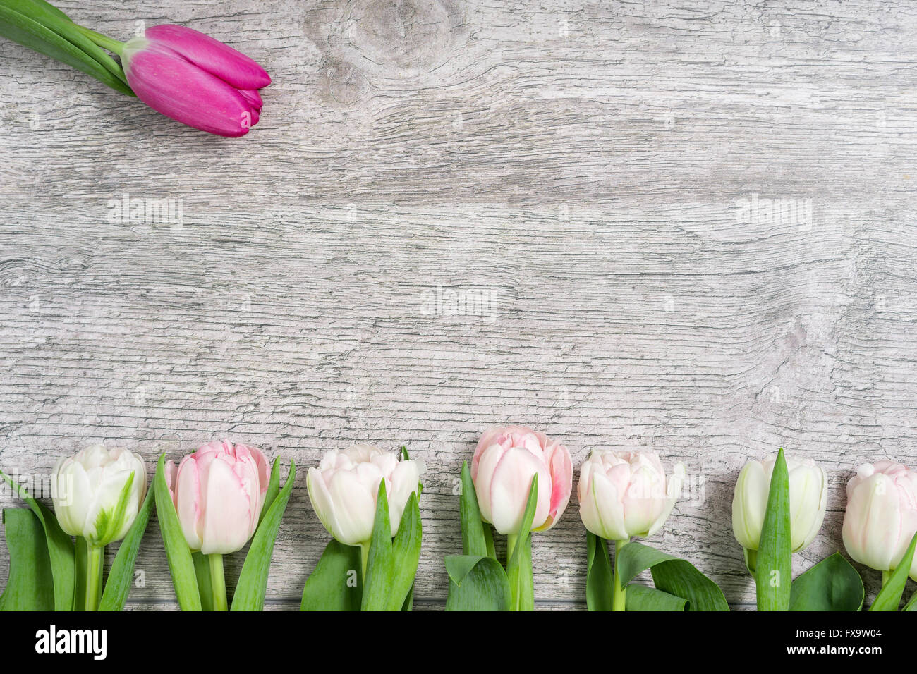 White Tulips in a Row and a pink One Stock Photo